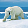 Read more about: Polar bears ill from accumulated environmental toxins
