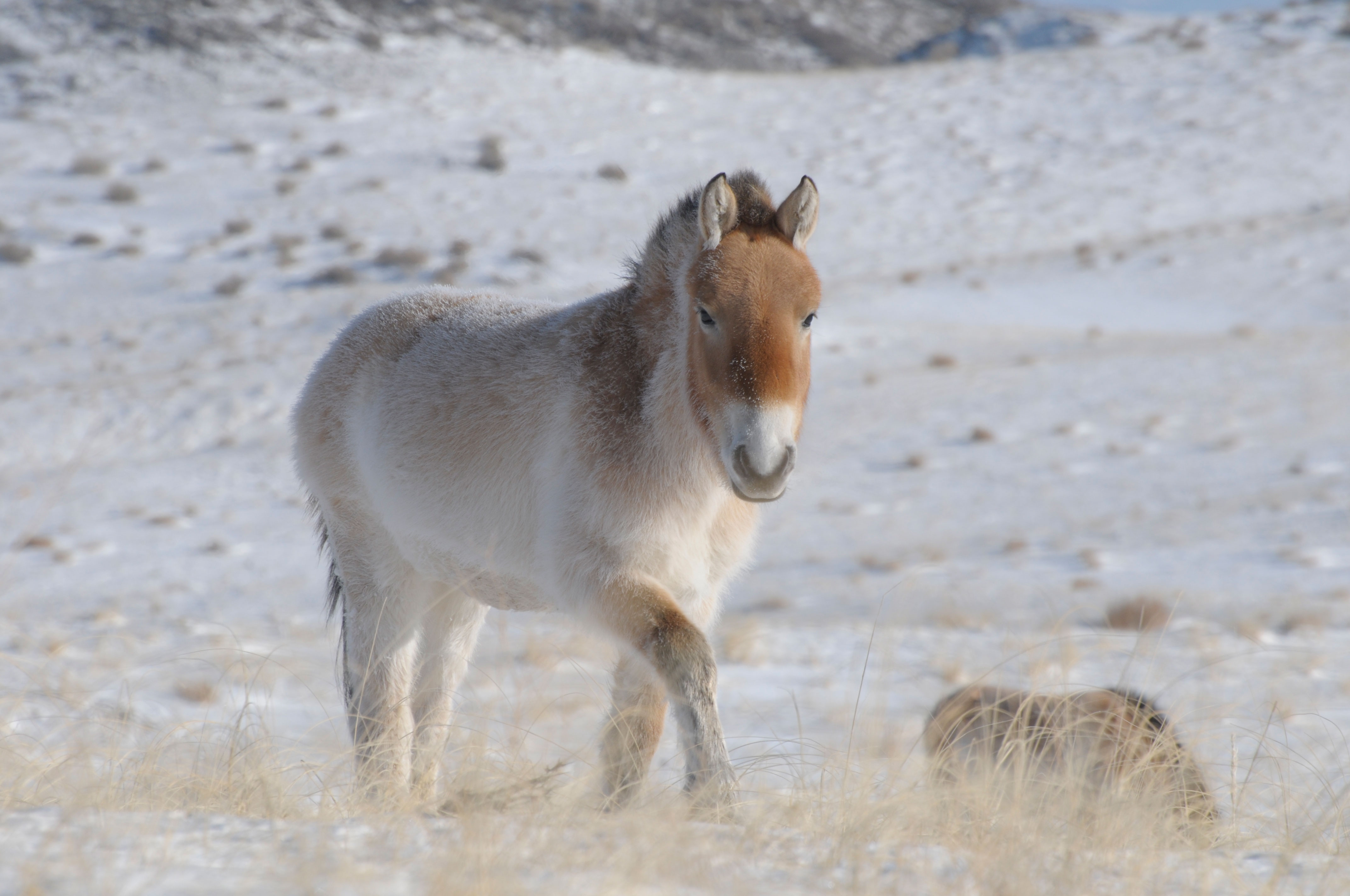 Its Genome Was Sequenced Last Year But >> A 700.000 year old horse gets its genome sequenced – University of Copenhagen
