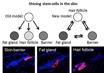 http://news.ku.dk/all_news/2013/2013.8/shining_stem_cells/figure350.jpg/