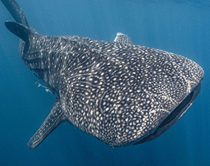 Whale shark genetics revealed by water samples